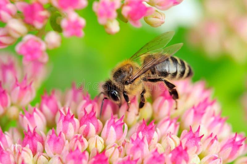 Biene, die rosafarbene Sedum Blumen bestäubt lizenzfreie stockfotos
