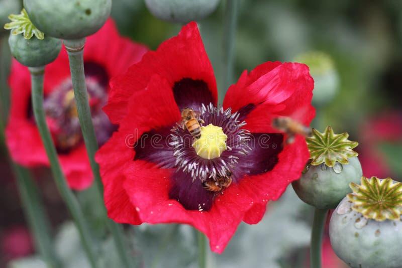 Biene, die rote Mohnblume mit den grünen Knospen pollenating ist lizenzfreies stockbild