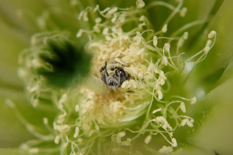 Biene in eine Wüstenblume stockfotos