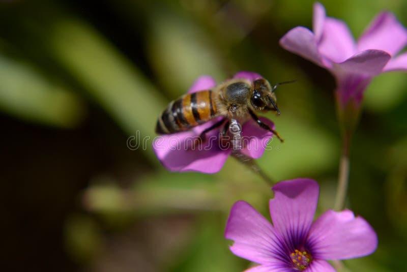 Biene in einer purpurroten Blume stockfoto
