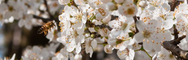 Biene, Frühling, erste Blumen, Natur aufweckend lizenzfreies stockfoto