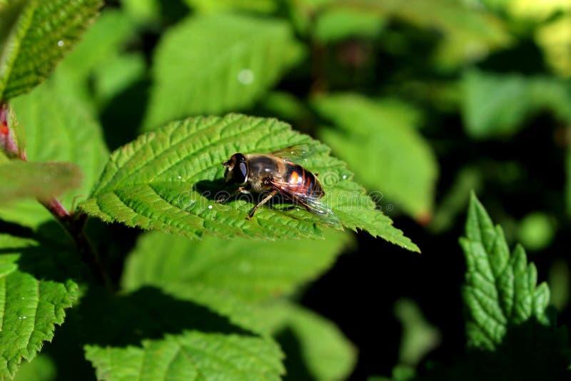 Biene, Honigbiene lizenzfreie stockfotos