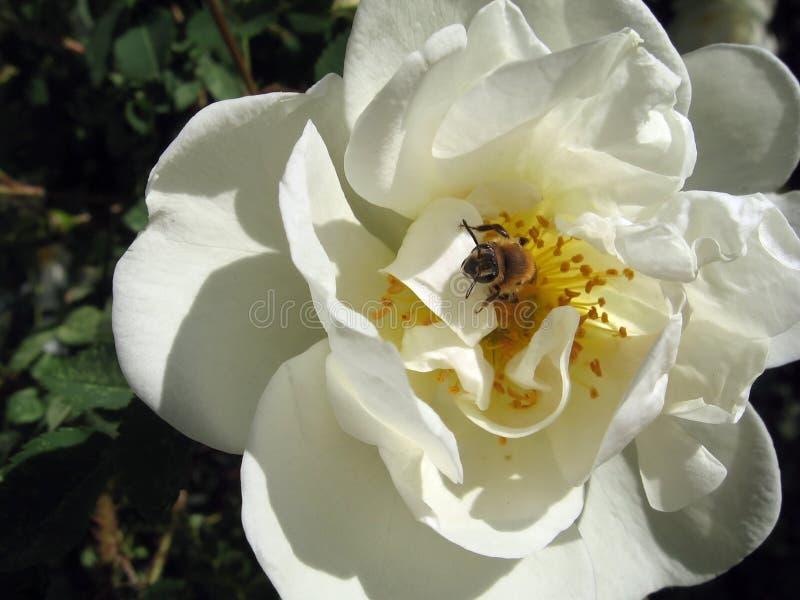Biene in Hund-stieg Blume lizenzfreie stockbilder