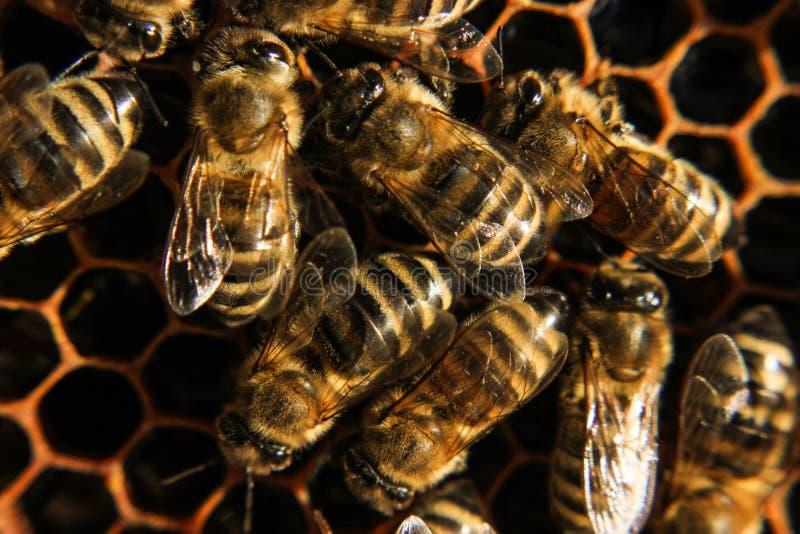 Biene im Bienenstockabschluß oben stockfotografie
