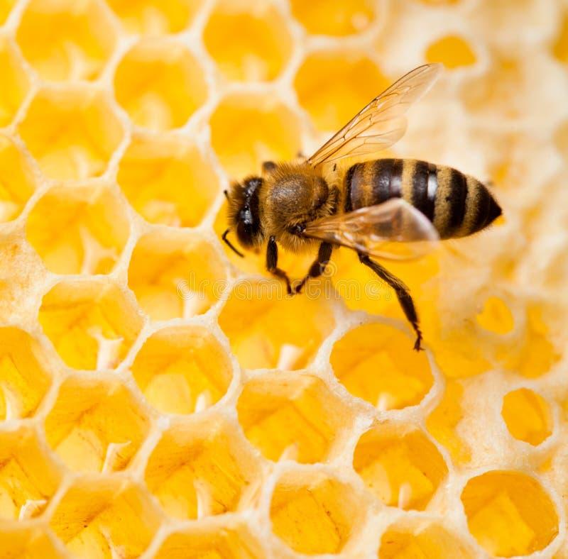 Biene im Bienenwabemakroschuß stockbilder