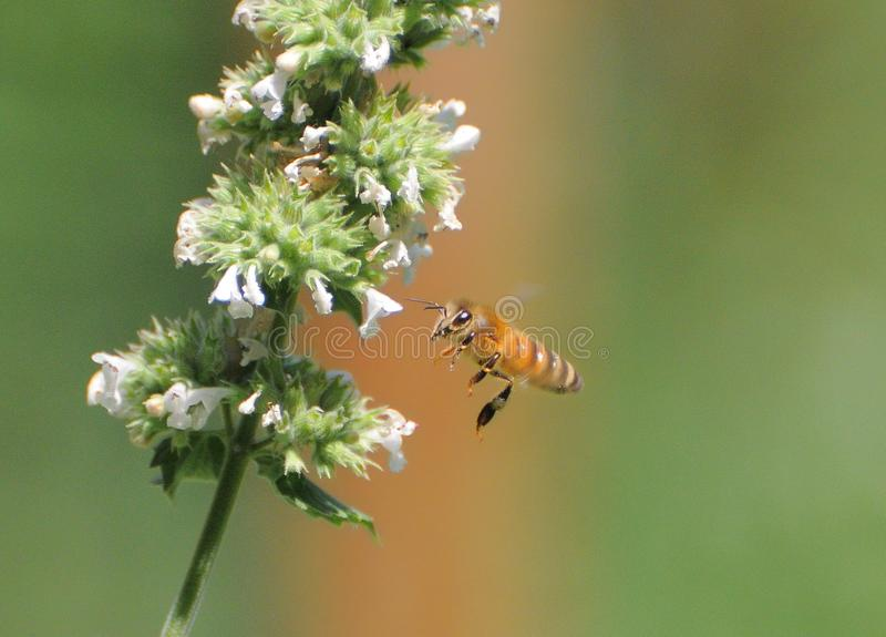 Biene im Flug stockbilder