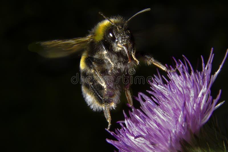 Biene im Flug lizenzfreies stockbild