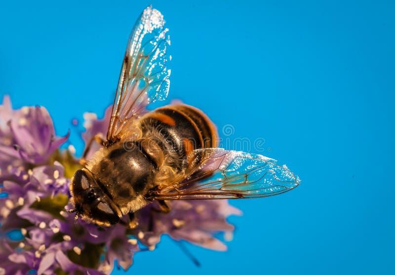 Biene im Lavendel stockbilder