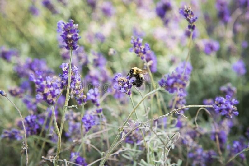Biene im Lavendel stockfoto