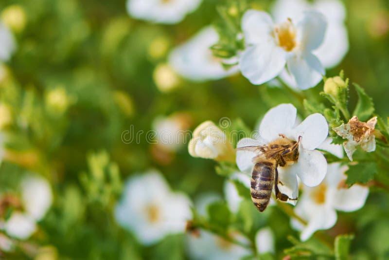 Biene innerhalb einer Schneeflockenblume lizenzfreie stockfotografie