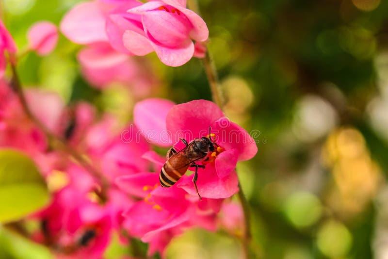 Biene isst Nektar und Blütenstaub stockfotografie