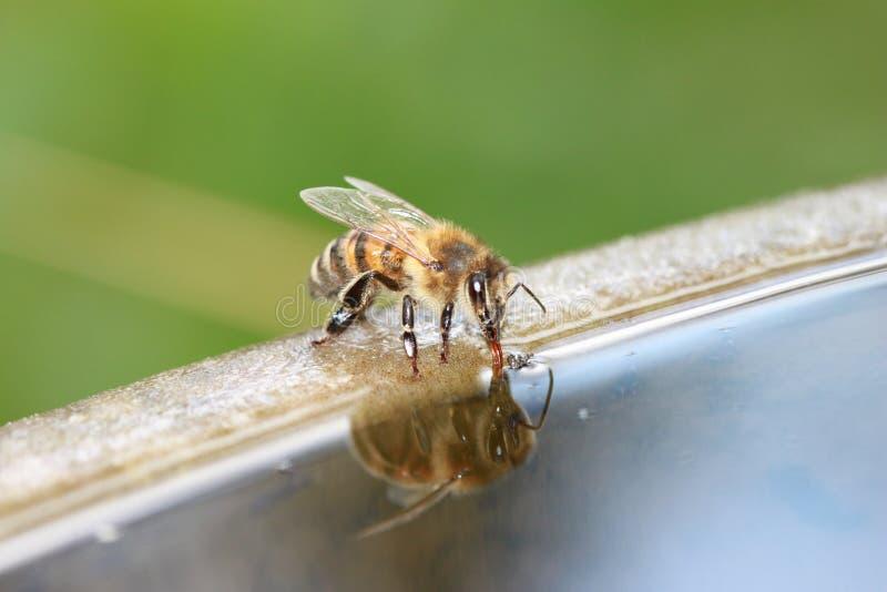 Download Biene ist Getränk stockbild. Bild von hummel, blütenstand - 73346687