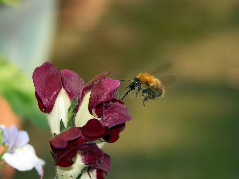 Biene mit der Zunge ausgedehnt lizenzfreie stockfotografie