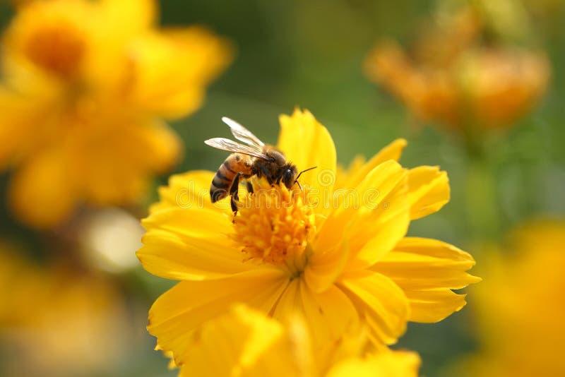 Biene mit gelber Blume stockbilder