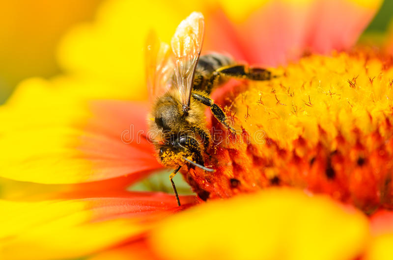 Biene montiert Nektar stockfotos