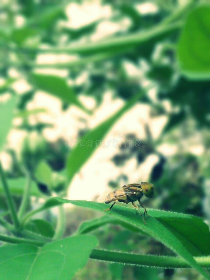 Biene oder Fliege? stockfotos