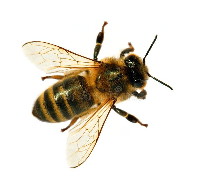 Biene oder Honigbienen- oder Honigbiene lokalisiert auf dem Wei? lizenzfreies stockfoto