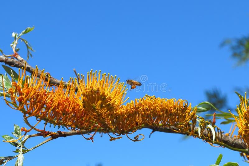 Biene sammeln Blütenstaub von blühendem Banksia lizenzfreie stockfotografie