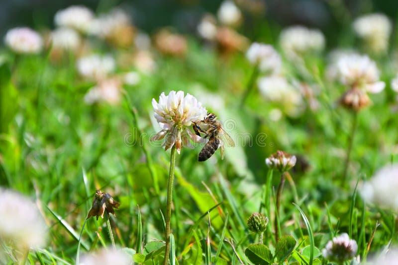 Biene sammelt Blütenstaub und Nektar von der Weißkleeblume, Sommerinsekt stockbild