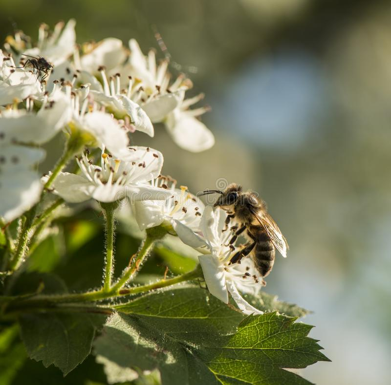 Biene sammelt den Nektar von den Blumen des Weißdorns lizenzfreie stockfotografie