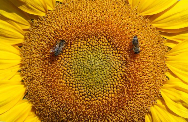 Biene sammelt Nektar und Blütenstaub lizenzfreies stockbild