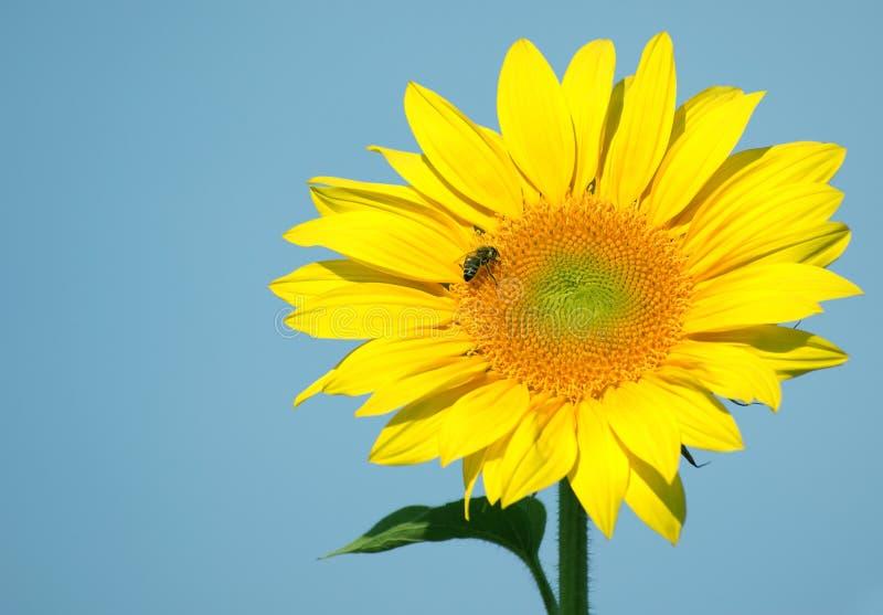 Biene sammelt Nektar und Blütenstaub stockbilder
