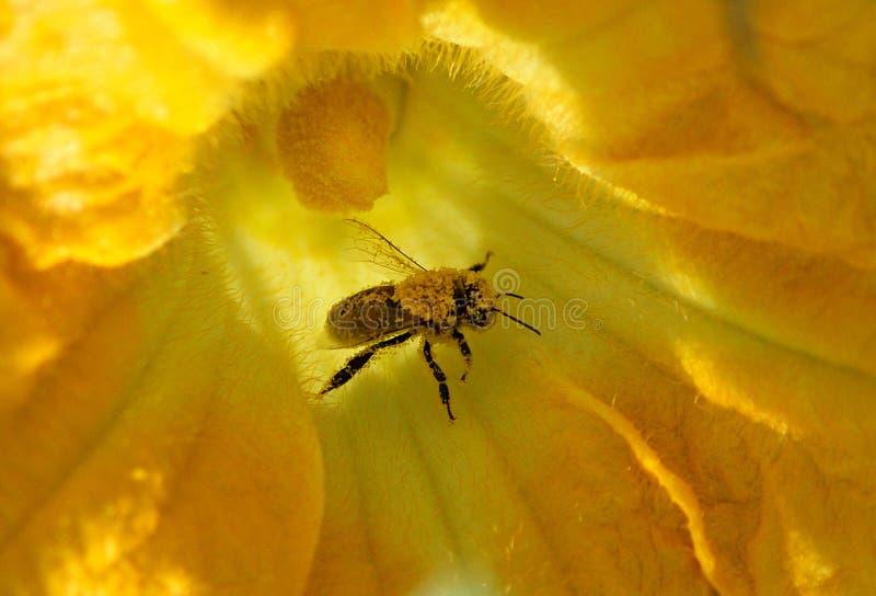 Biene sammelt Nektar und Blütenstaub auf Kürbisblume lizenzfreie stockfotos