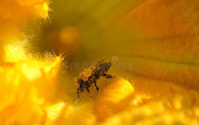 Biene sammelt Nektar und Blütenstaub auf Kürbisblume lizenzfreies stockfoto