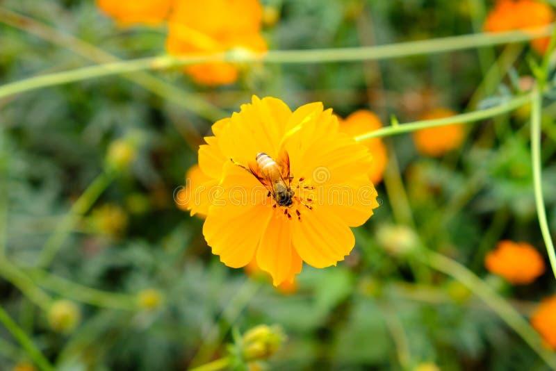 Biene sammelt Nektar vom Blumenkosmos stockbilder