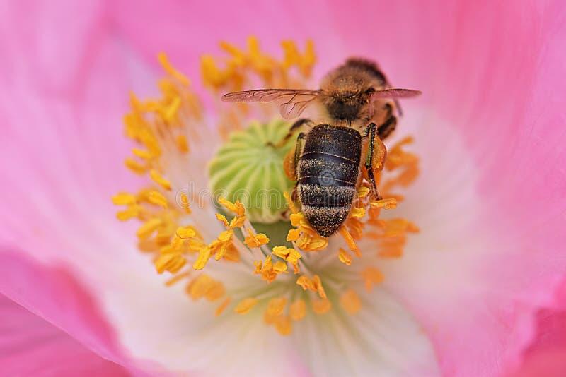 Biene schmiegte sich in rosa Petaled Poppy Flower 03 an lizenzfreies stockbild