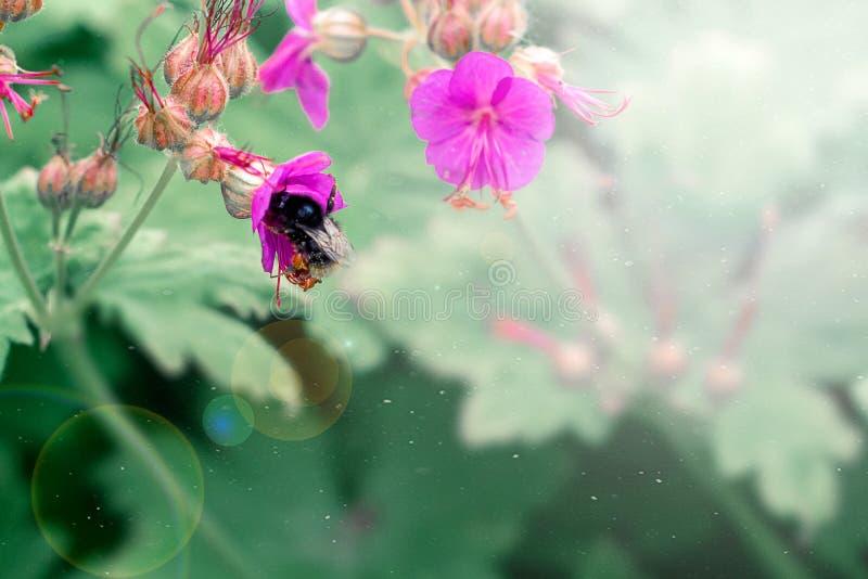Biene und flowe, die auf einer rosa Blume, Weichzeichnung, unscharfer Hintergrund sitzen stockbilder