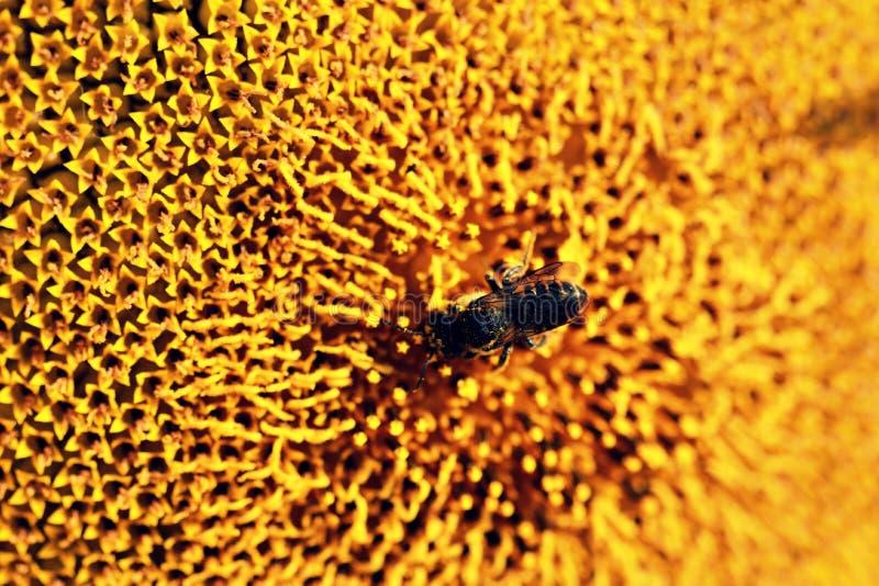 Biene und helle gelbe Sonnenblume lizenzfreie stockbilder