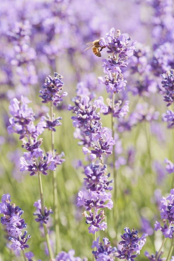 Biene und Lavendel stockbild