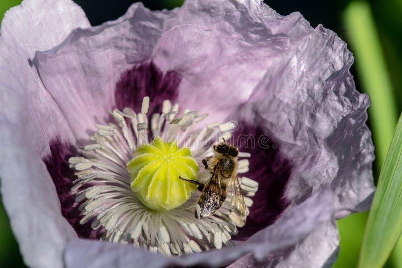 Biene und purpurrote Mohnblume lizenzfreie stockbilder