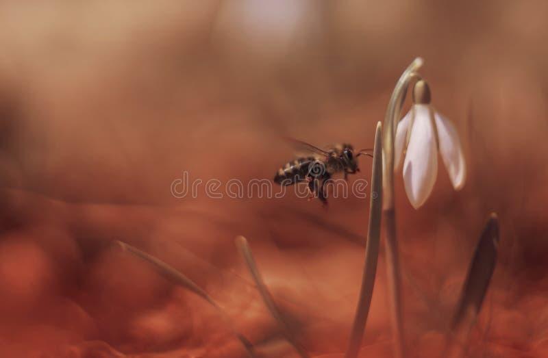 Biene und Schneeglöckchen lizenzfreie stockfotos