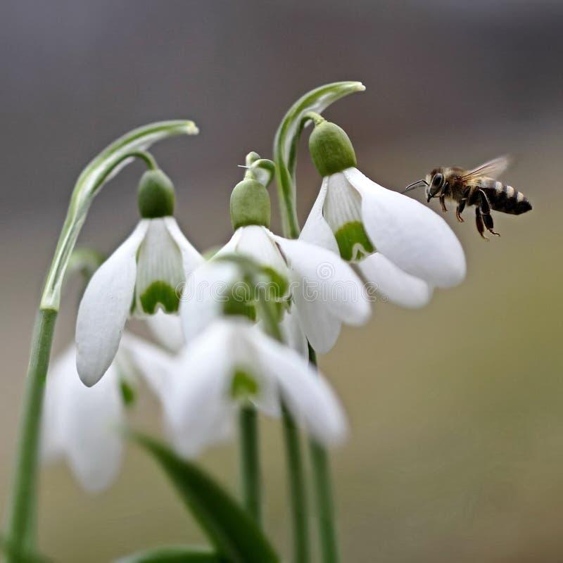 Biene und Schneeglöckchen Die ersten Frühlingsblumen Kommen des Frühlinges Biene bei der Arbeit Natur wacht nach Winterschlaf auf lizenzfreie stockfotos