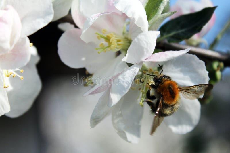 Biene und weiße Apfelblüte stockfotografie