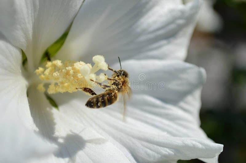 Biene voll des Blütenstaubs lizenzfreies stockbild