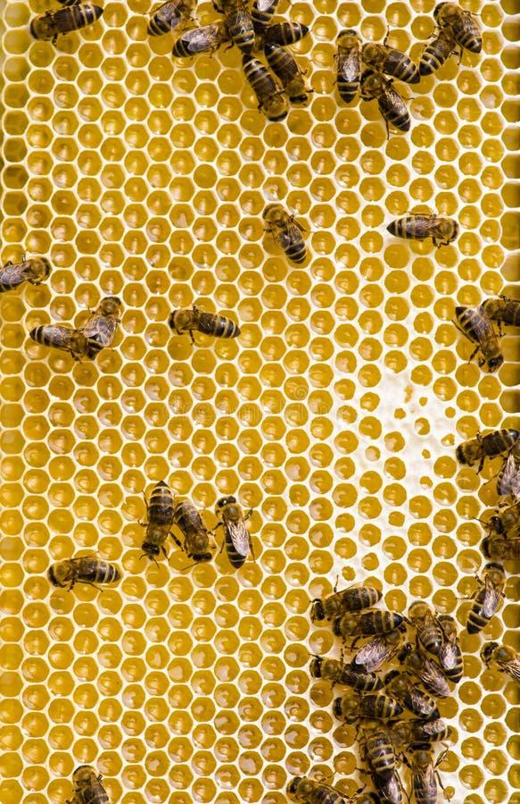 Bienen lizenzfreie stockfotos