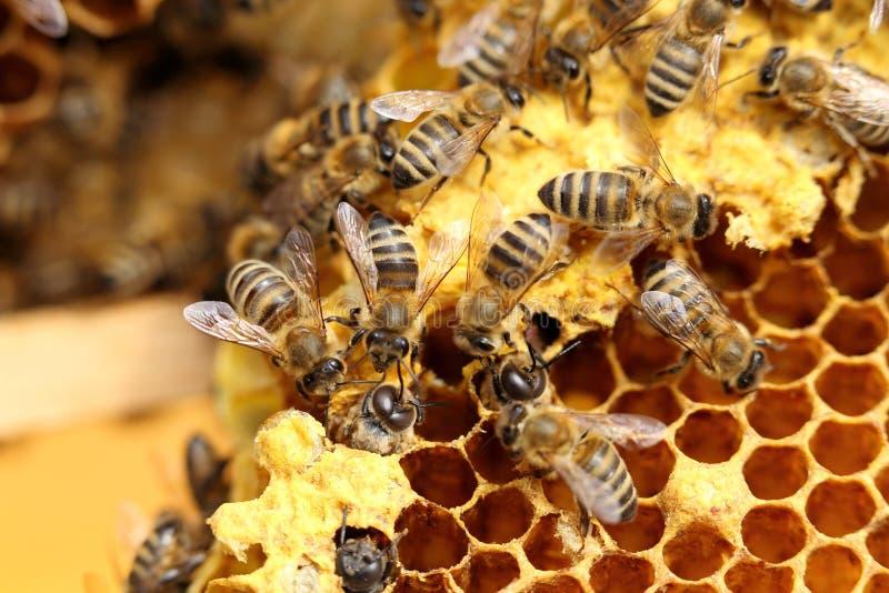 Bienen arbeiten an einem neuen Bienenwachs lizenzfreie stockfotografie
