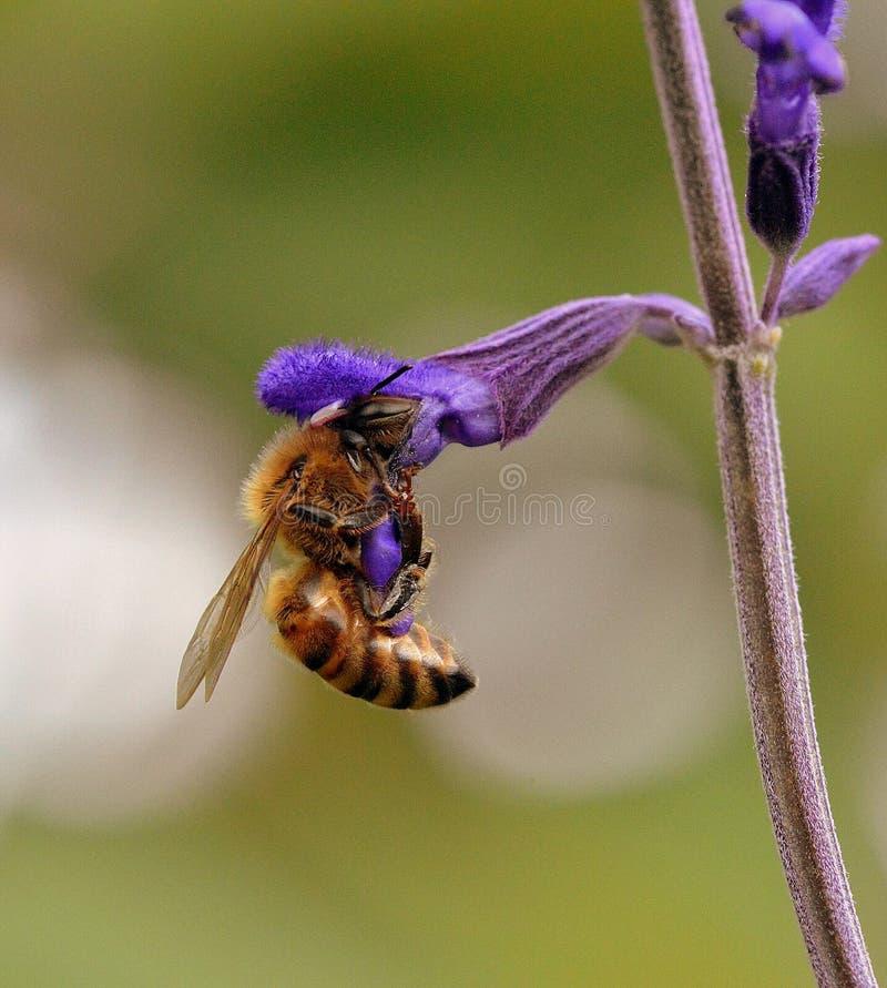 Bienen-Arbeitskraft stockfoto