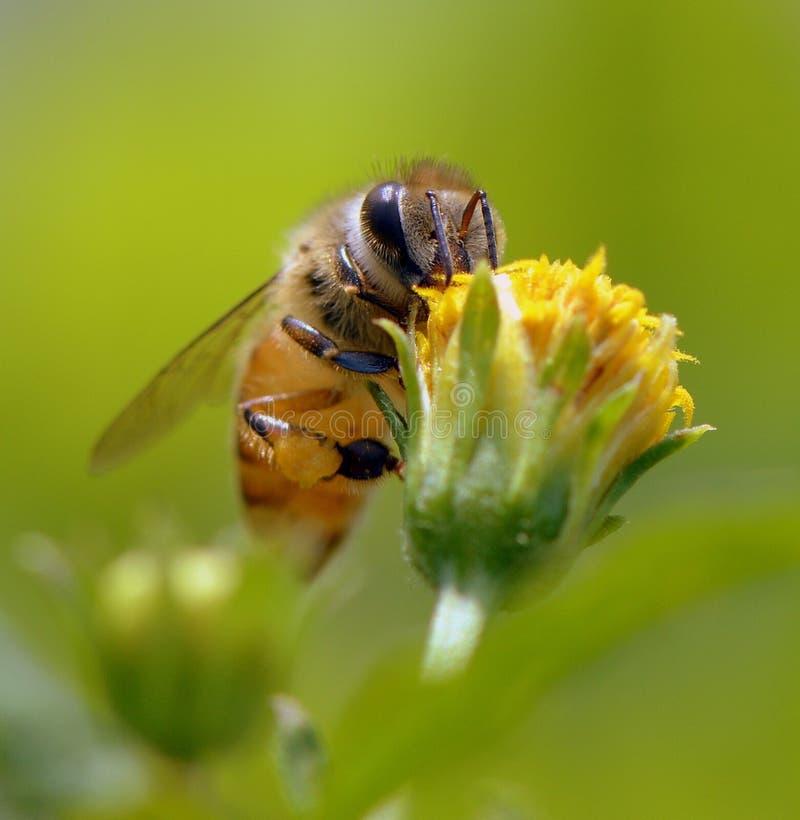Bienen-Arbeitskraft lizenzfreies stockfoto