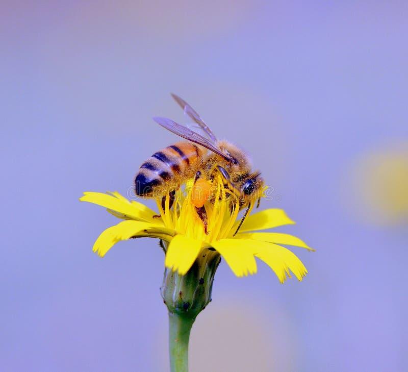 Bienen-Arbeitskraft lizenzfreie stockbilder