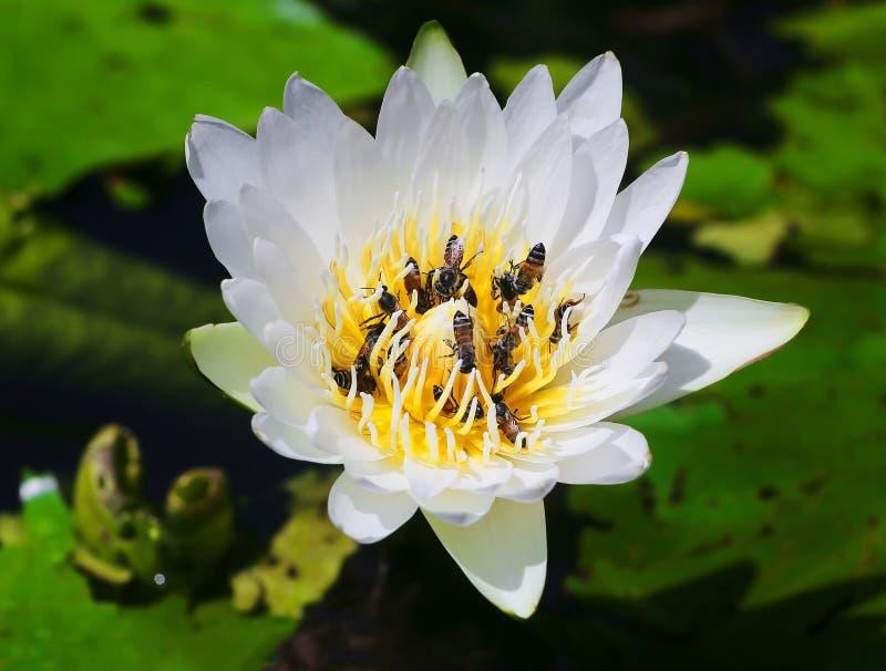 Bienen auf Blütenstaub des weißen Lotos stockfotos