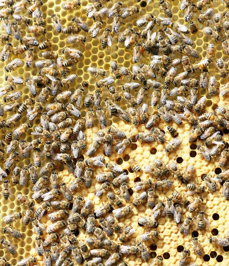 Bienen auf Brutkamm stockbild