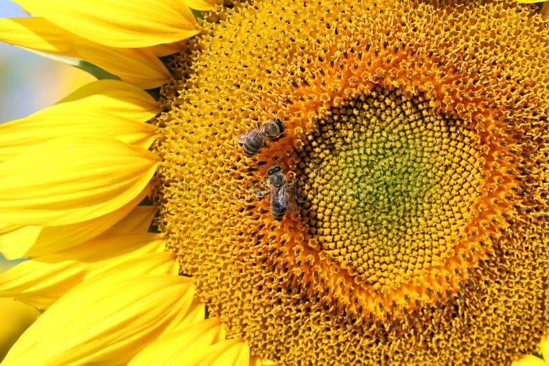 Bienen auf Sonnenblume stockfoto