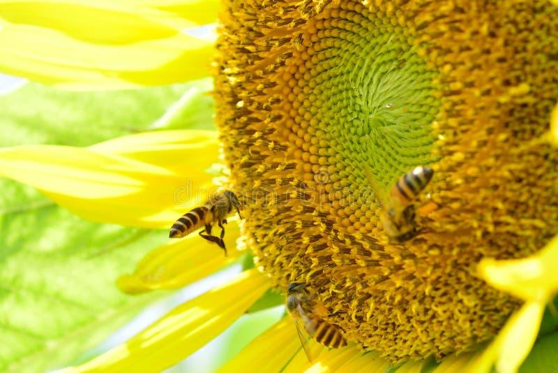 Bienen auf Sonnenblume lizenzfreie stockbilder