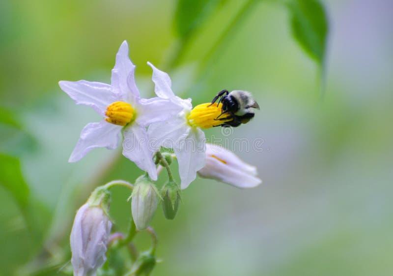 Bienen auf Wildflowers stockbild