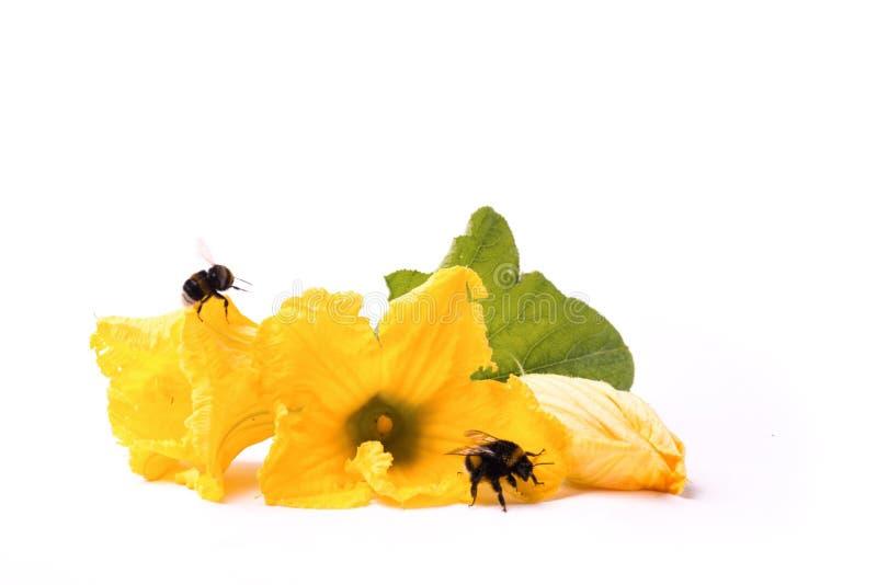 Bienen auf Zucchini ` s Blumen stockbilder