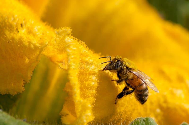 Bienen bei der Arbeit, Bestäubungskürbisblume stockfoto